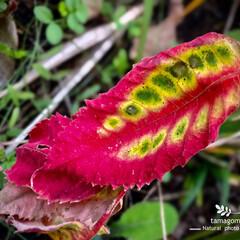 植物観察日記/落葉/おでかけ 落葉  綺麗な落葉見つけました- (^▽…