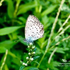 自然観察日記/昆虫観察/ヤマトシジミ/大和小灰蝶/フォンダンウォーター/おでかけ/... ヤマトシジミ(大和小灰蝶)  1cmある…