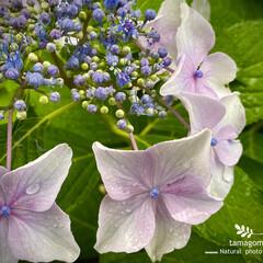 ガクアジサイ/額紫陽花/植物観察日記 ガクアジサイ【額紫陽花】  まだまだ、咲…