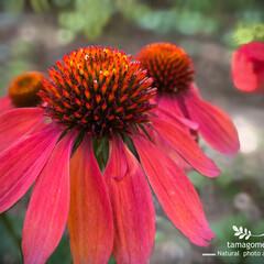 エキナセア/植物観察日記 エキナセア  大きくて色鮮やかでとても可…(1枚目)