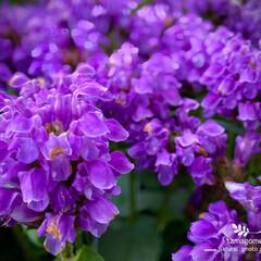カコソウ/夏枯草/靫草/靫草・夏枯草/ウツボグサ/植物観察日記 ウツボグサ(靫草・夏枯草)  紫色に敷き…