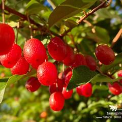 我が家の庭/胡頽子/茱萸/グミの実/植物観察日記 グミ【茱萸・胡頽子】  赤く熟れたグミの…