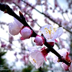 植物観察日記/雨上がりの桜/桜 サクラ(桜)  雨上がりの桜も風情があっ…