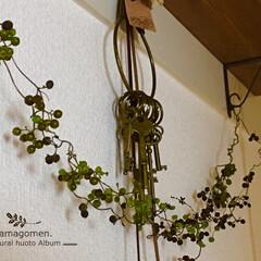 植物観察日記/ドライフラワー/へクソカズラの実 へクソカズラ(屁糞葛)  ドライフラワー…