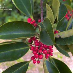 クロガネモチの実/植物観察日記/自然観察日記/クロガネモチ クロガネモチ  紅い実が可愛らしいです-…