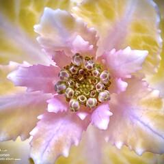 植物観察日記/ハボタン/葉牡丹 ハボタン(葉牡丹)  可愛らしい葉牡丹の…