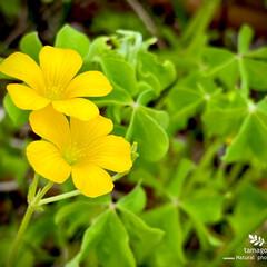 カタバミ/酢漿草/黄色の酢漿草/植物観察日記 カタバミ【酢漿草】  ビタミンカラーです…
