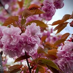 ヤエザクラ/八重桜/植物観察日記 ヤエザクラ(八重桜)  八重桜です  毎…