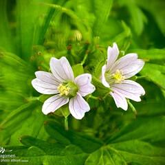 アメリカフウロ/植物観察日記 アメリカフウロ  薄紫色のお花が可愛らし…