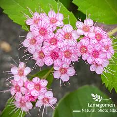 下野/シモツケ/植物観察日記/花 シモツケ【下野】  ピンク色でとても可愛…(1枚目)