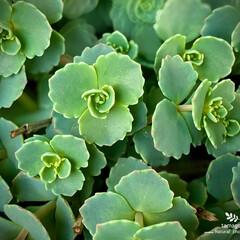 多肉植物/ミセバヤ/植物観察日記/玉緒 ミセバヤ【玉緒】  新芽がどんどん出てき…