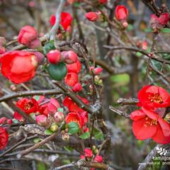 植物観察日記/紅い木瓜 ボケ(木瓜)  紅い木瓜が満開ですねー …