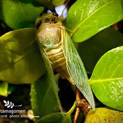 蝉の羽化/昆虫観察日記 蝉の羽化  昨日の近畿地方はバケツを ひ…(1枚目)