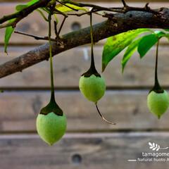 自然観察/植物観察日記/エゴノキの実/エゴノキ/おでかけ/LIMIAおでかけ部/... エゴノキの実  可愛らしい実ですね 初夏…