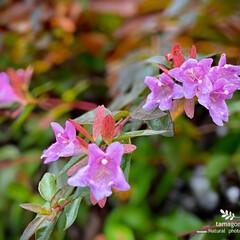 植物観察日記/アベリア アベリア  濃いピンク色の花弁もあるんで…