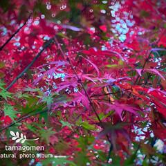 モミジ/紅葉/植物観察日記 モミジ【紅葉】  日増しに寒さも増してき…