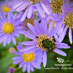 コアオハナムグリ/紫苑/紫苑とコアオハナムグリ/昆虫観察日記/植物観察日記 紫苑とコアオハナムグリ  風に揺れる紫苑…