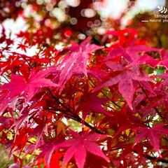 紅葉/モミジ/おでかけ/植物観察日記 モミジ(紅葉)  寒さ物語るこれぞ紅葉で…