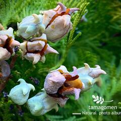 ヒバ/檜葉/植物観察日記 ヒバ【檜葉】  色が変わって実が弾けてき…