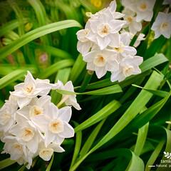 シロスイセン/白水仙/植物観察日記 シロスイセン(白水仙)  ご近所さん宅の…