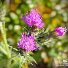 野薊/ノアザミ/植物観察日記 ノアザミ(野薊)  淡赤紫色で綺麗ですね…