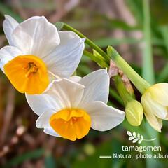 水仙/植物観察日記 スイセン【水仙】  野生化している水仙を…