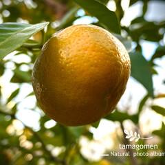 シークワーサー/シークワーサーの実/植物観察日記 シークワーサー  黄色くなったシークワー…
