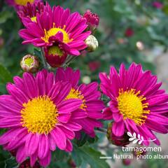 コギク/小菊/植物観察日記 コギク【小菊】  菊の香りって良いですよ…