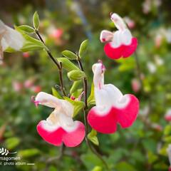 自然観察日記/植物観察日記/チェリーセージ/おでかけ チェリーセージ  小さくて可愛らしいお花…