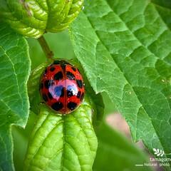 並天道/ナミテントウ/昆虫観察日記 ナミテントウ【並天道】  てんとう虫も種…