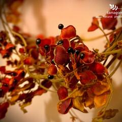ドライフラワー/タンキリマメ タンキリマメ(痰切豆)  紅い袋から黒い…