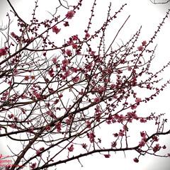 植物観察日記/紅梅/梅の花 ウメ(梅)  紅梅です 少しづつ春を身近…