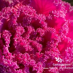 葉牡丹/植物観察日記 ハボタン【葉牡丹】  お正月と言えば葉牡…