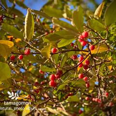 アキグミの実/グミ/茱萸・胡頽子/植物観察日記/紅い実の成る植物 グミ【茱萸・胡頽子】  アキグミの実です…
