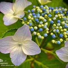 ガクアジサイ/額紫陽花/植物観察日記 ガクアジサイ【額紫陽花】  今まではあま…