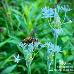 韭の花と蜜蜂/昆虫観察日記/植物観察日記 韭の花と蜜蜂  蜜蜂が韮の花の蜜を吸って…