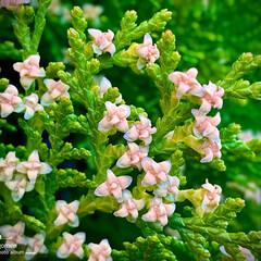 ヒバの花/檜葉の花/植物観察日記 ヒバ(檜葉)  初めて見ました 檜葉の花…