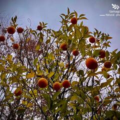 植物観察日記/蜜柑 ミカン(蜜柑)  蜜柑が沢山成っています…