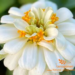 ジニア/植物観察日記/花 ジニア  お花の中にお花が咲いたみたいで…