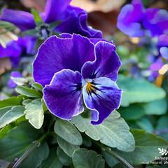 植物観察日記/ビオラ ビオラ  鮮やかな紫色ですねー ( ¨̮…