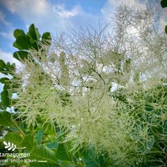 リュウスコチナス/ハグマノキ/スモークツリー/植物観察日記/ケムリノキ スモークツリー  ふわふわ綿菓子の様なお…