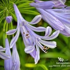 紫君子蘭/アガバンサス/植物観察日記 アガバンサス【紫君子蘭】  あちらこちら…(1枚目)