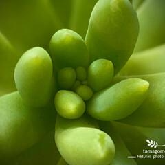 多肉植物/セイヤツヅリ/聖夜つづり/植物観察日記 セイヤツヅリ【聖夜つづり】  ぷっくりし…