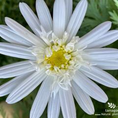 植物観察日記/白い菊/お正月2020 キク(菊)  一輪だけ白い菊が咲いていま…