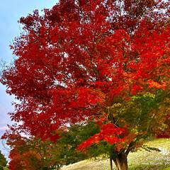 公園/紅葉/モミジ/おでかけ/植物観察日記/自然観察日記 モミジ(紅葉)  萌えるような紅葉です …
