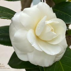 植物観察日記/白椿 ツバキ(椿)  雨に濡れる白椿 一輪だけ…