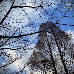 植物観察日記/メタセコイヤ/自然観察日記/冬景色/公園 公園の冬景色  背高なメタセコイヤが2つ…(1枚目)