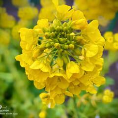 植物観察日記/菜の花 ナノハナ(菜の花)  暖かくなって来たん…(1枚目)