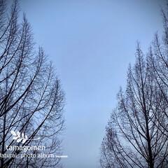 メタセコイア/植物観察日記 メタセコイア  濃霧のメタセコイア 濃い…(1枚目)