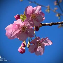 植物観察日記/川路桜/佐保川散策 佐保川散策・川路桜  JR奈良線の線路沿…